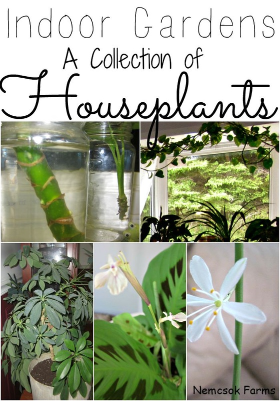 My next trick and sharing my collection of indoor houseplants as my love for gardening never ends.