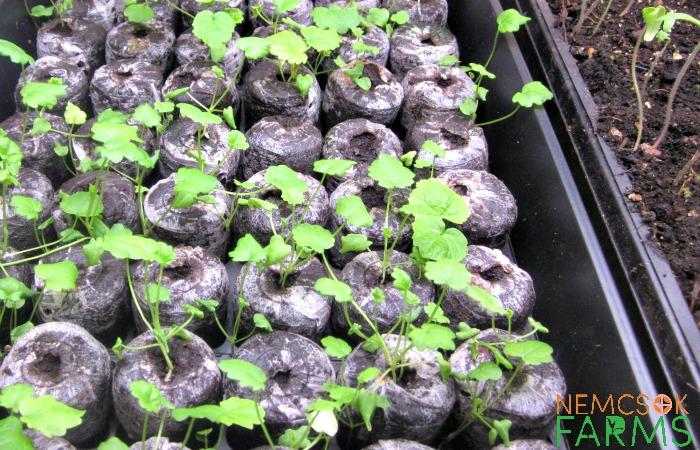 Seedings