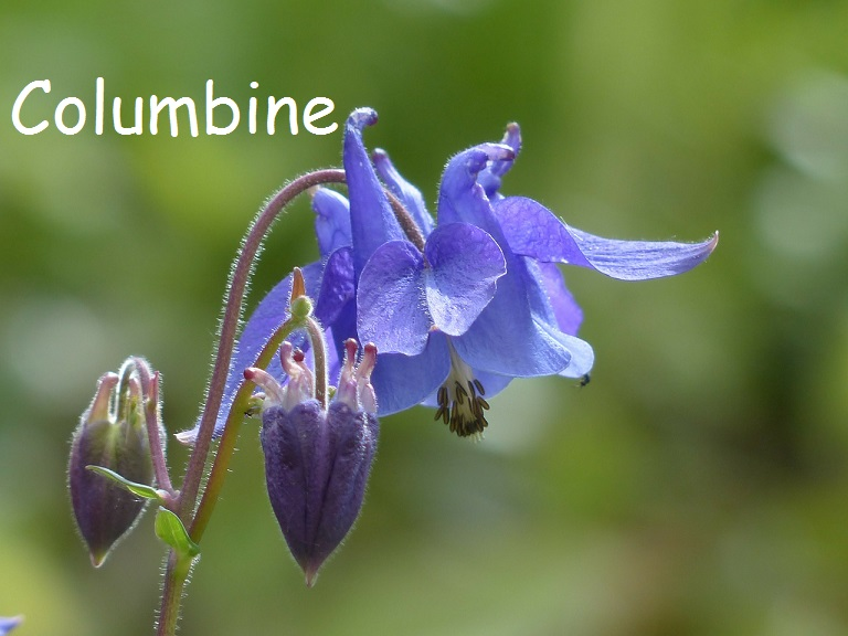 Beautiful Blue Columbine