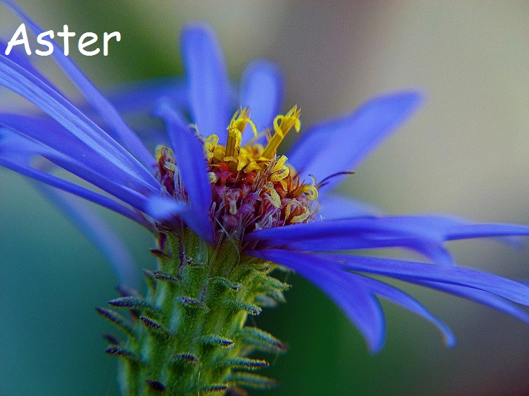 Beautiful Blue Aster