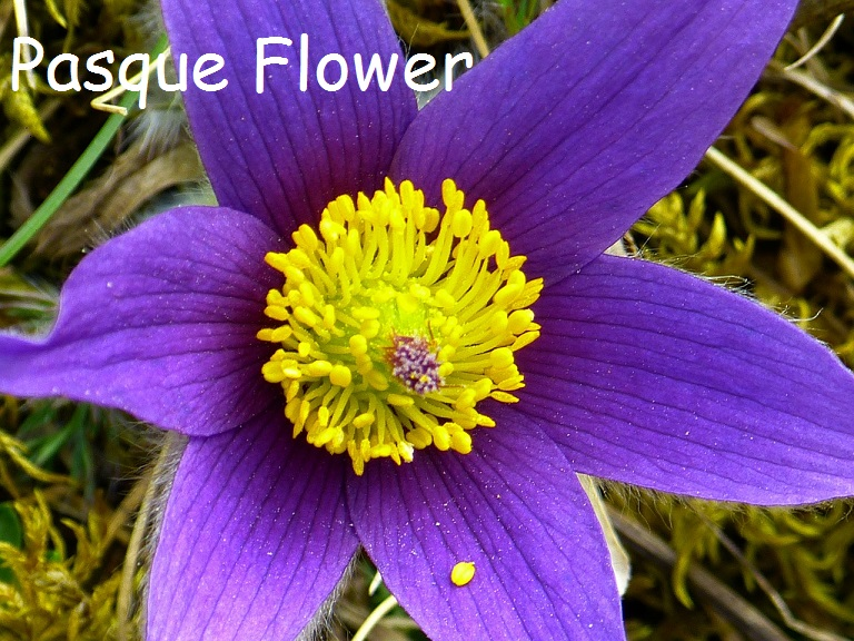 Beautiful Blue Pasque Flower
