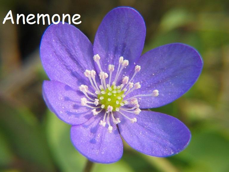 Beautiful Blue Anemone