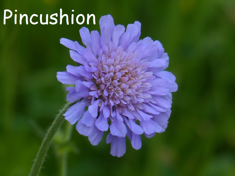 Beautiful Blue Pincushion