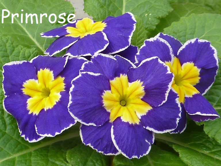 Beautiful Blue Primrose