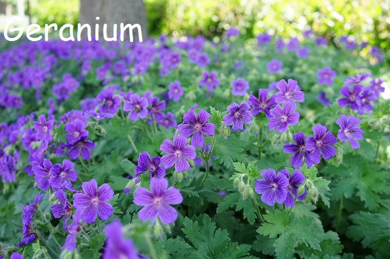 Beautiful Blue Geranium