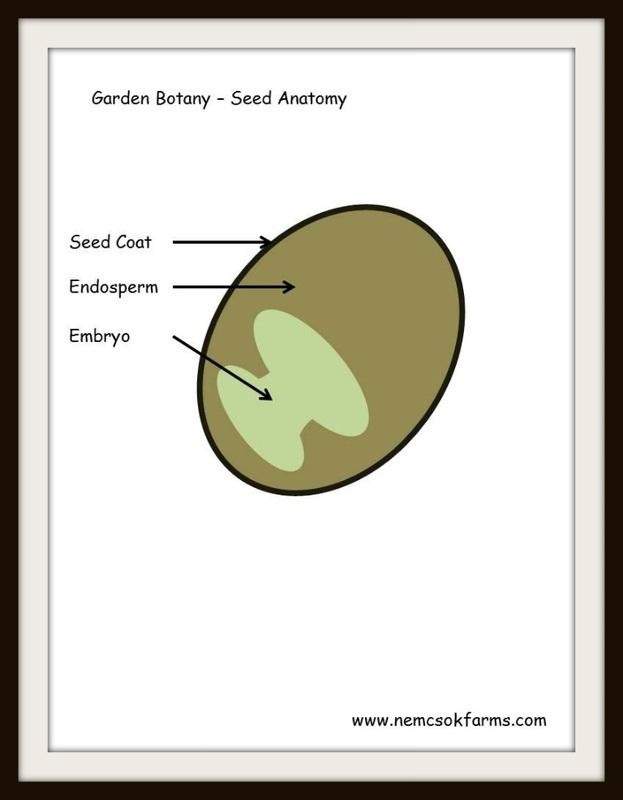 Garden Botany 101- Basic Seed Anatomy