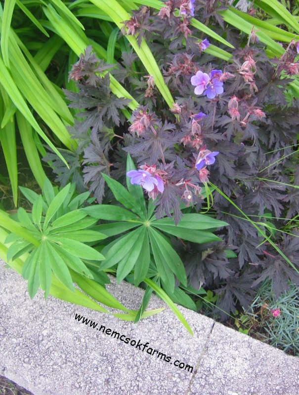 Lupines in a flower bed, their foliage is unique and stunning