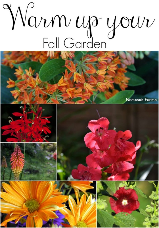Warm up your Fall Garden with fall bloomers in orange, red and yellow to give your garden depth, and drama.