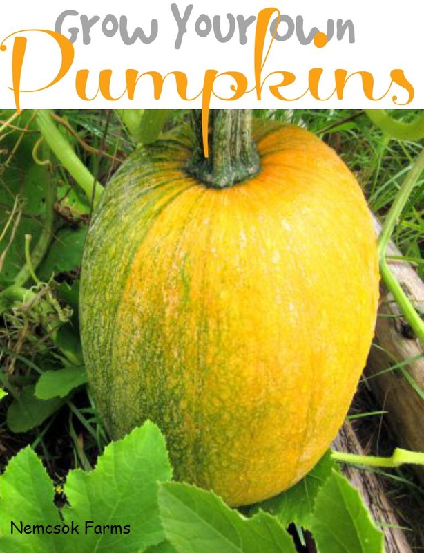 How To Grow Your Own Pumpkins