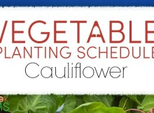 vegetable planting schedule and growing tips for cauliflower