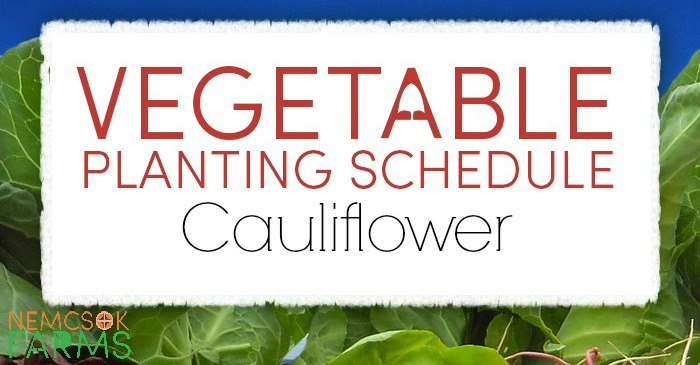 Vegetable Planting Schedule for Cauliflower Plus Growing Tips post thumbnail image
