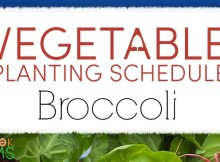 planting schedule and growing tips for broccoli