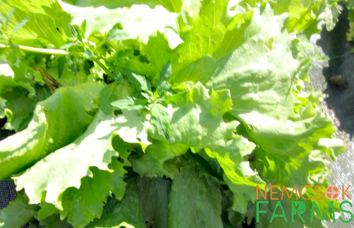 schedule and growing tips for lettuce