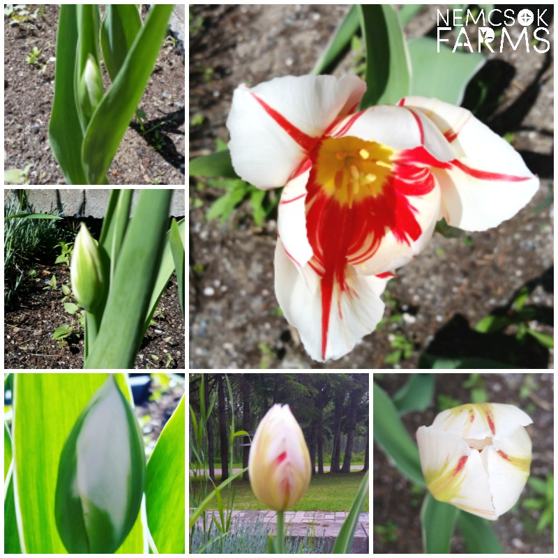 The Canada 150 tulip, also known as the Maple Leaf tulip, is the official tulip of the 150th anniversary of Canada
